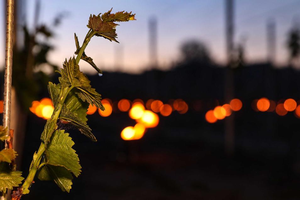 Eine junge Weinrebe. Im Hintergrund leuchten Frostkerzen.