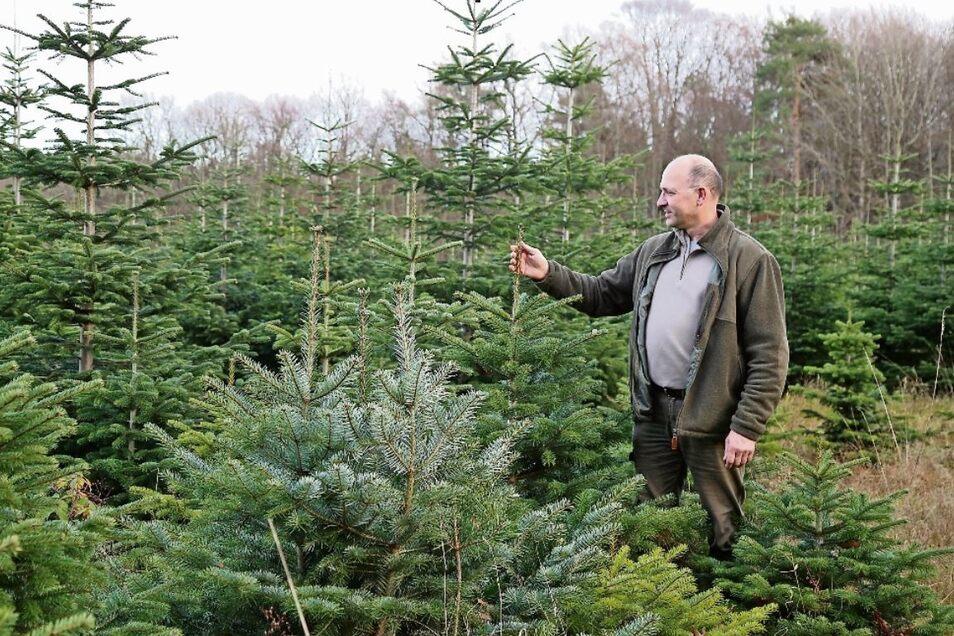 Michael Krujatz vor seinem Bestand an Nadelbäumen an der Hohen Dubrau. Insgesamt stellt der Forstmann ein gutes Wachstum fest.