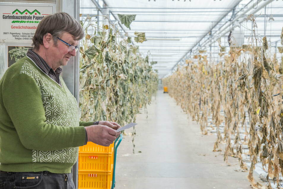 Rüdiger Ahr führt in Tauchritz den Gartenbaubetrieb Ahr. Weil die Erntehelfer fehlen und die Großhändler lieber billigere Gurken aus Frankreich abnehmen, musste er seine diesjährige Ernte aufgeben.