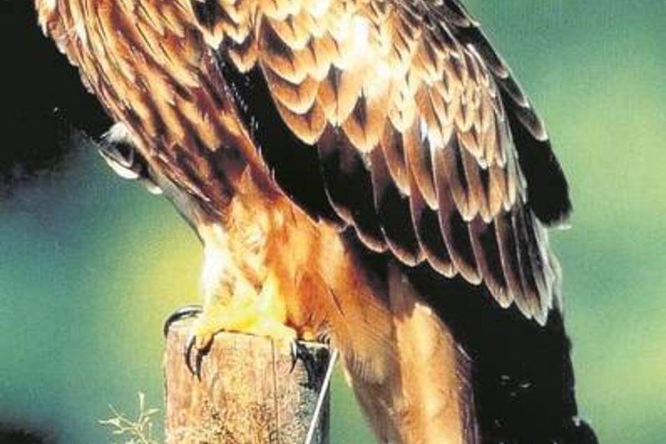 Ein Rotmilan sitzt auf einem Zaunpfahl. Der Bestand dieser Greifvogelart hat sich in der Miltitz-Heynitzer Gegend gut entwickelt. Foto: ddp