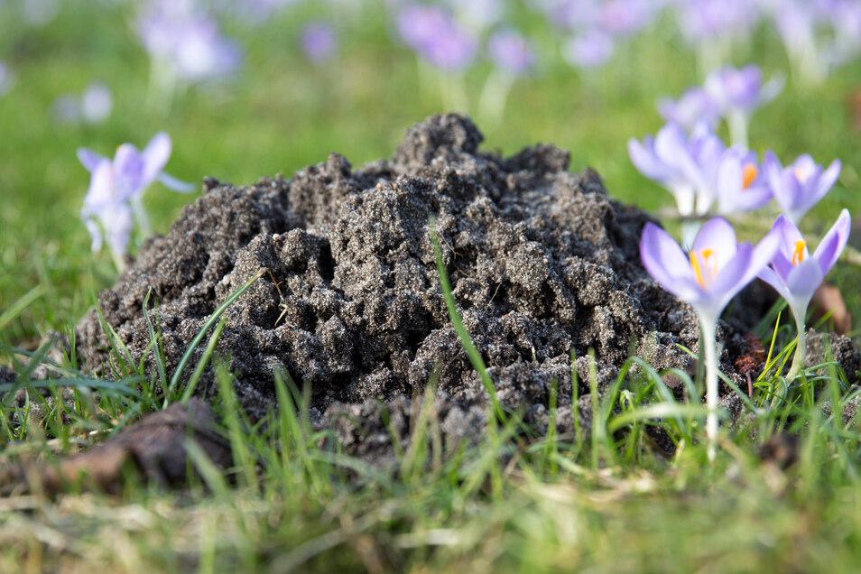 Nicht nur Maulwürfe hinterlassen Spuren im Garten, auch Tiere wie Dachs und Fuchs.