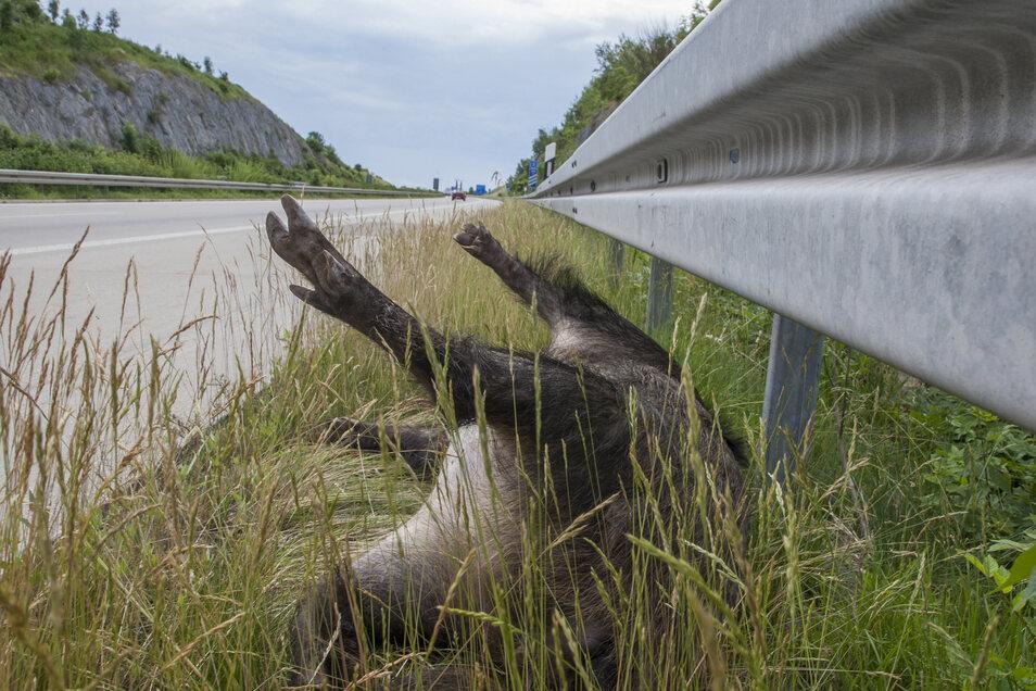 Hier kommen zwei Risikofaktoren für die Schweinepest zusammen, die Autobahn und ein Wildschwein.