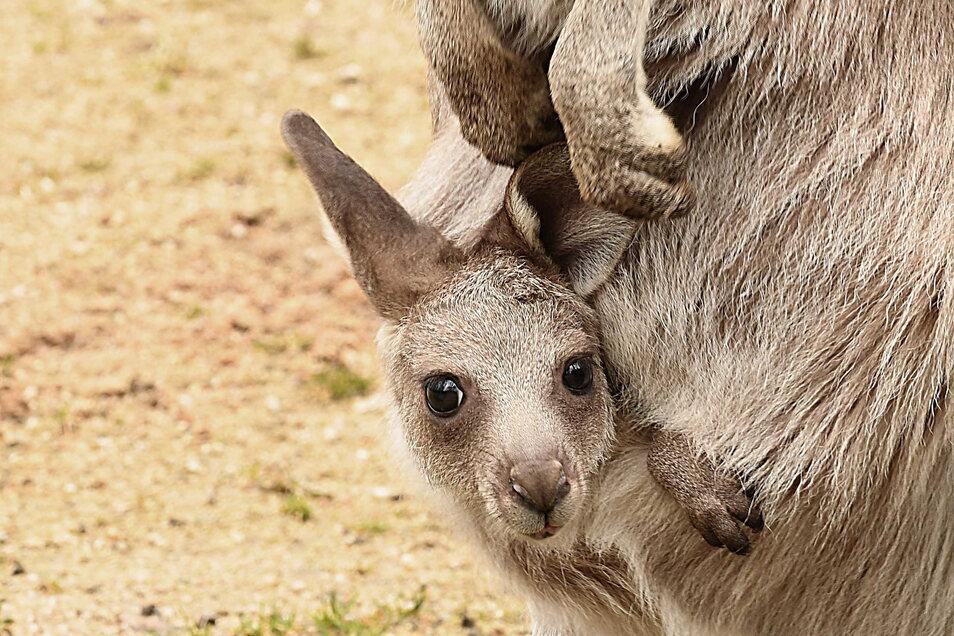 Im Görlitzer Tierpark kann man Riesenkängurus bewundern - und sich diesen Sonnabend auch gegen Corona impfen lassen.