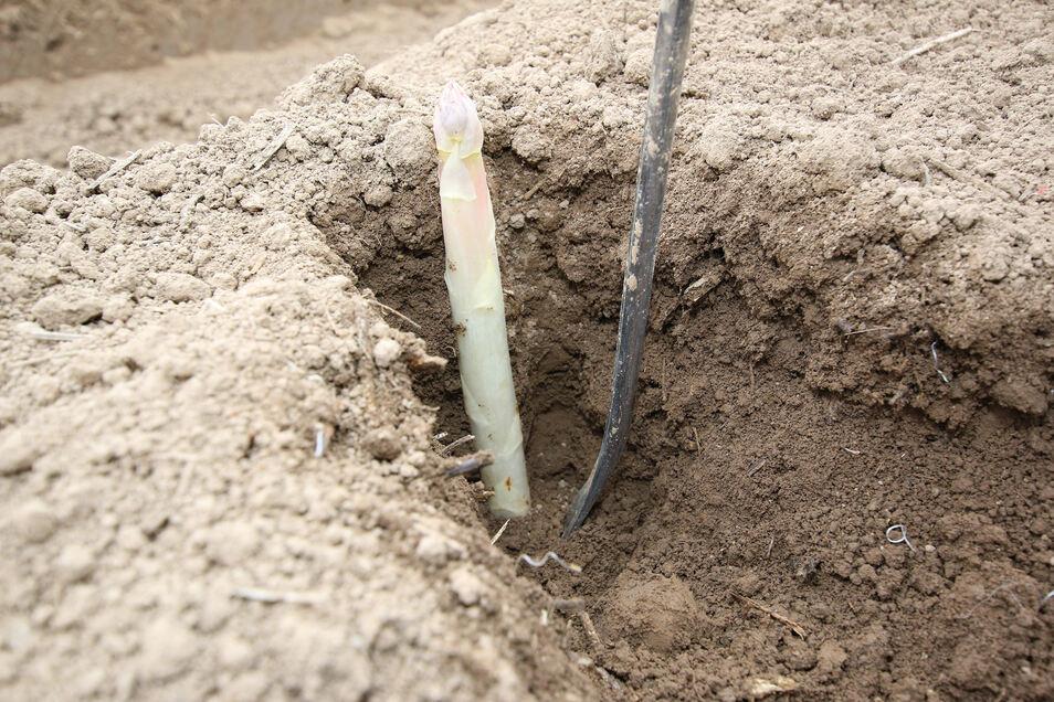 An warmen Tagen kann Spargel schon mal zehn Zentimeter wachsen. Jede Reihe muss deshalb innerhalb von 24 Stunden ein- bis zweimal auf erntereifen Spargel abgesucht werden.