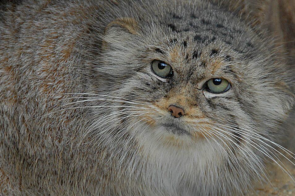 Kann sich gut tarnen: Die junge Manul-Katze Mani