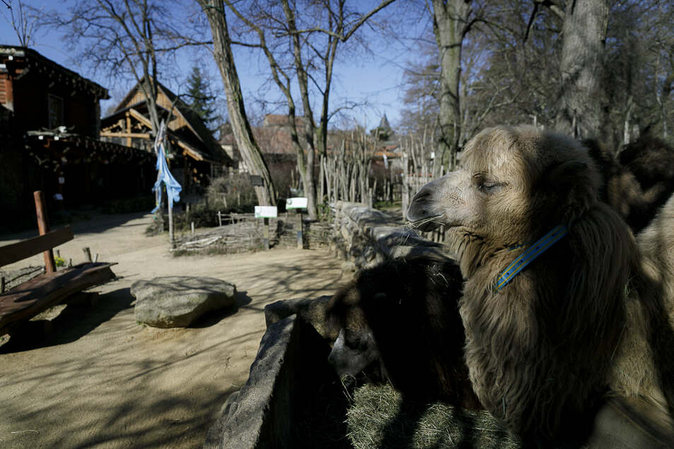 Hallo, kommt wer? Nein? Enttäuscht wartet ein Kamel im Tierpark Görlitz auf Besucher.