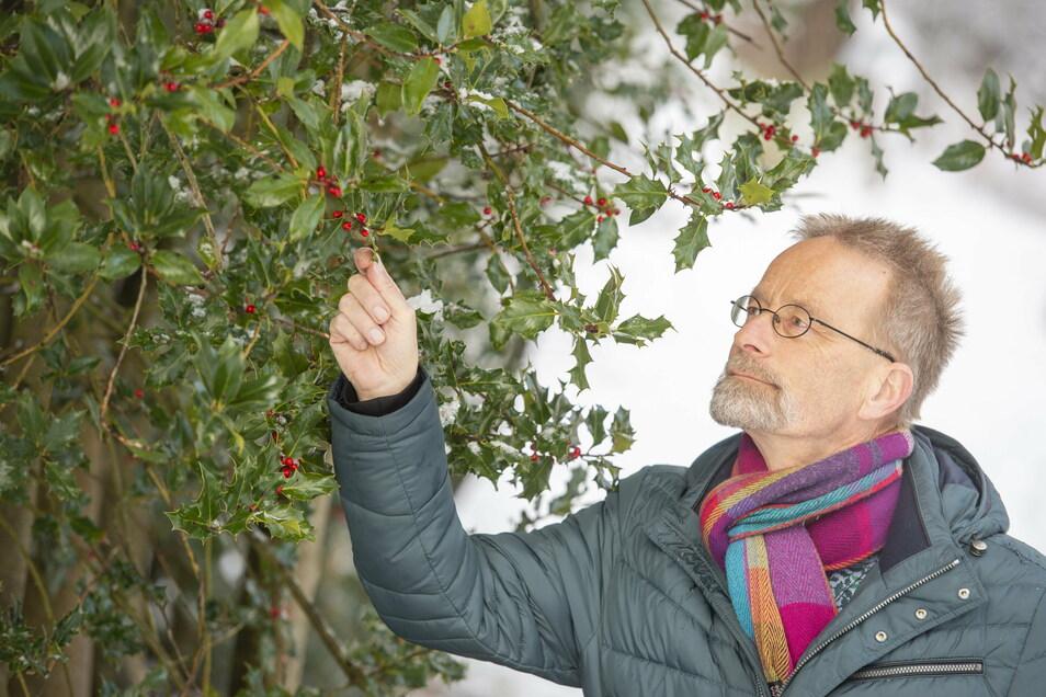 """""""Extrem attraktiv."""" Forstprofessor Andreas Roloff (65) mit seinen Europäischen Stechpalmen im Tharandter Forstgarten. Die Art wurde als Baum des Jahres 2021 ausgerufen."""