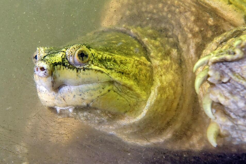 Seit mittlerweile 23 Jahren ist diese Schnappschildkröte beim Roßweiner Vereins Osiris zuhause. Sie wurde 1998 in der Mulde gefunden.
