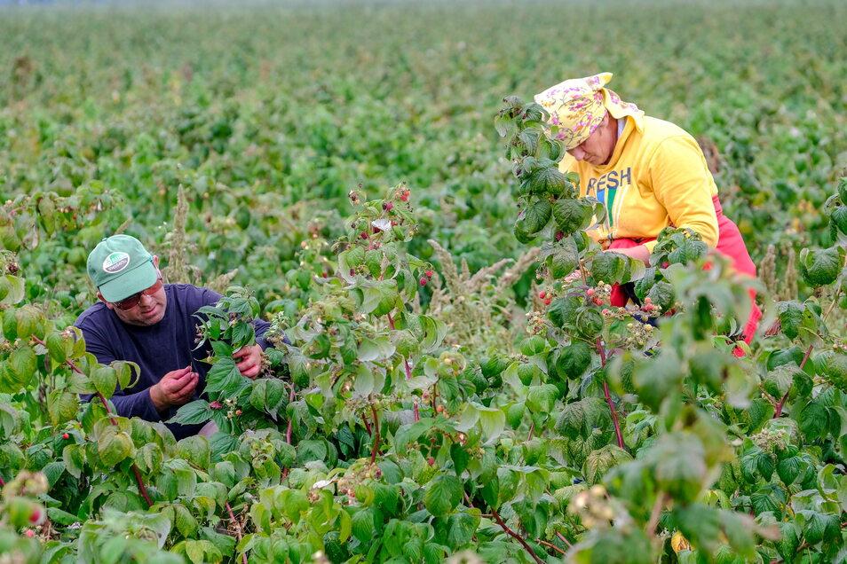 Derzeit ist die Himbeerernte bei Obstbau Görnitz in Sörnewitz voll im Gange.