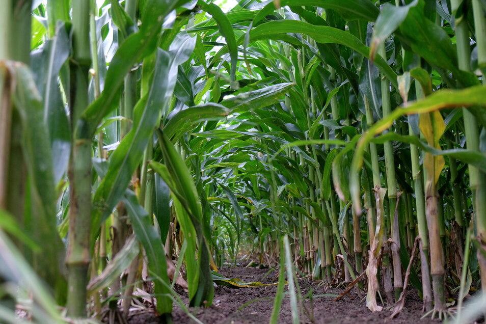 Schöne Aussichten: Der Mais steht auf den Feldern der Lommatzscher Pflege anders als in den Vorjahren meterhoch. Auch den Rüben tut der Regen gut.