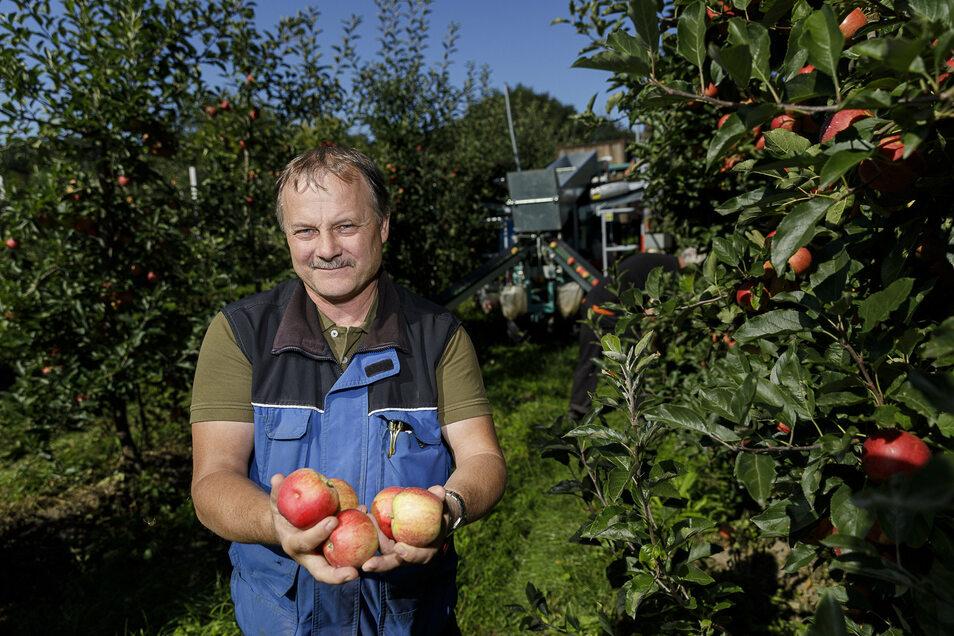 Mike Schwarzbach, Leiter Obstbau im Görlitzer Stadtgut, zeigt fünf Gala-Äpfel. Die Ernte läuft seit 2. September.