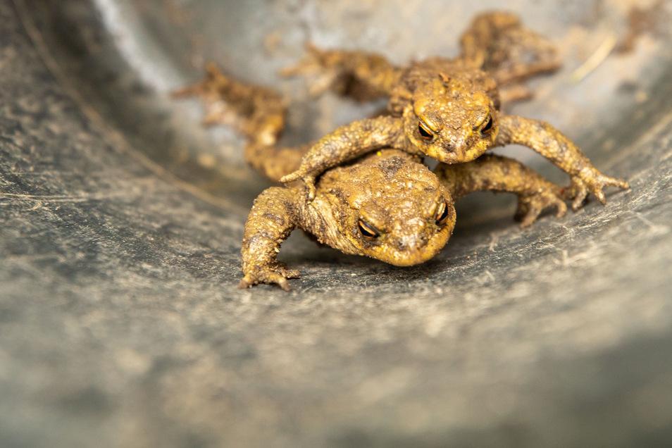 Diese zwei Kröten werden bestimmt nicht von Autos überfahren. Michael Holzweißig trägt sie in einem Eimer sicher über die Badstraße.