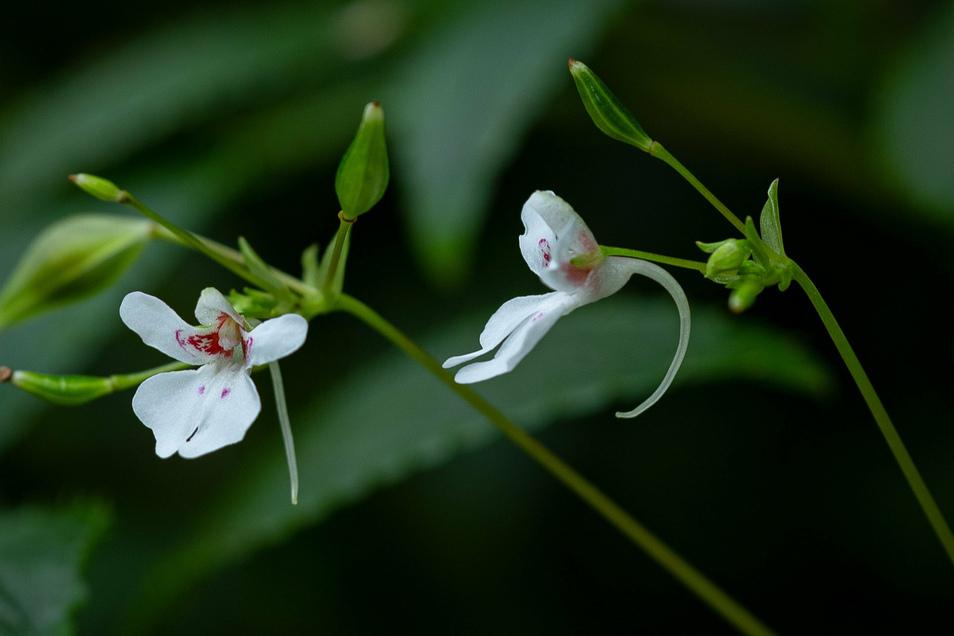 Die zarten weißen Blüten gehören zu einem bislang unbekannten Springkraut, das Barbara Ditsch in Angola entdeckte.