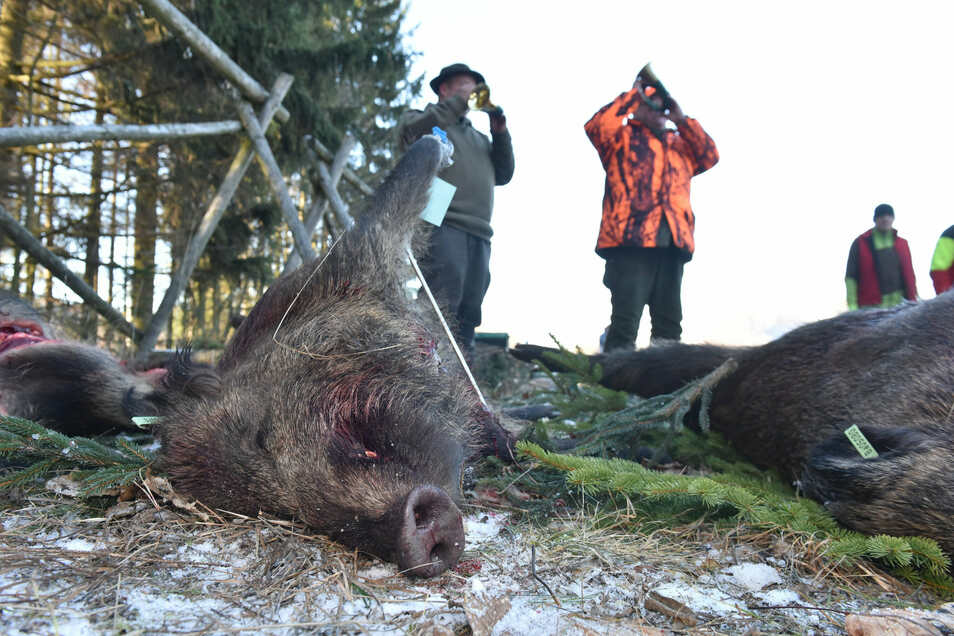 Auch wenn in den vergangenen Monaten vermehrt Wildscheine gejagt wurden, den ersten Schweinepest-Fall im Landkreis Görlitz konnte es nicht verhindern.