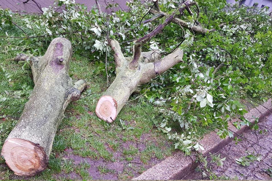 Dieser Baum auf der Wielandstraße ist nach einem Starkregen umgefallen. Der Regen war aber nicht die eigentliche Ursache