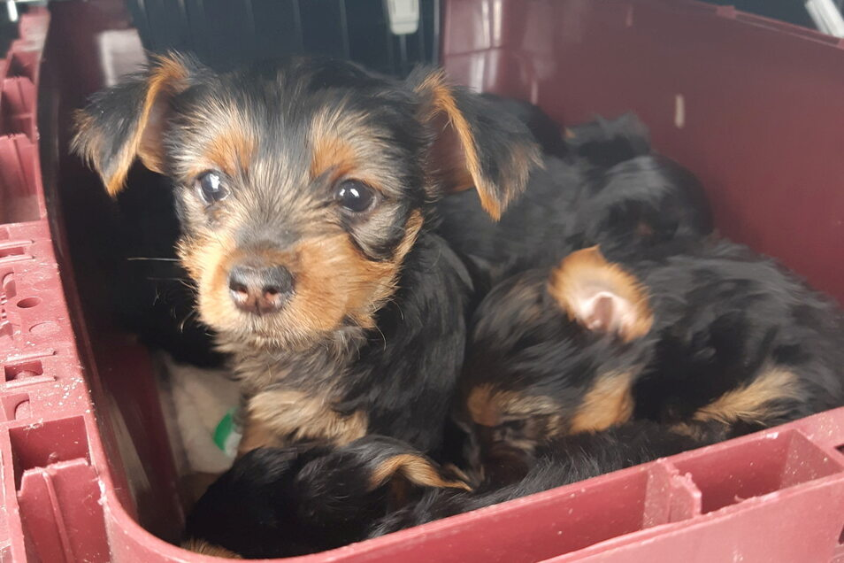 Eingesperrt in einer Katzenbox - so wollte ein 49-jähriger Niederländer die Hundewelpen in sein Heimatland bringen.