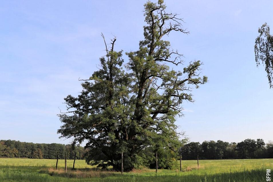 Deutschlands vermutlich älteste und vom Fürsten Pückler um 1850 gepflanzte Robinie im Branitzer Außenpark wurde jetzt als dickster und stärkster Baum des Jahres 2020 bei der 21. Spitzenbaumaktion der Schutzgemeinschaft Deutscher Wald geehrt.