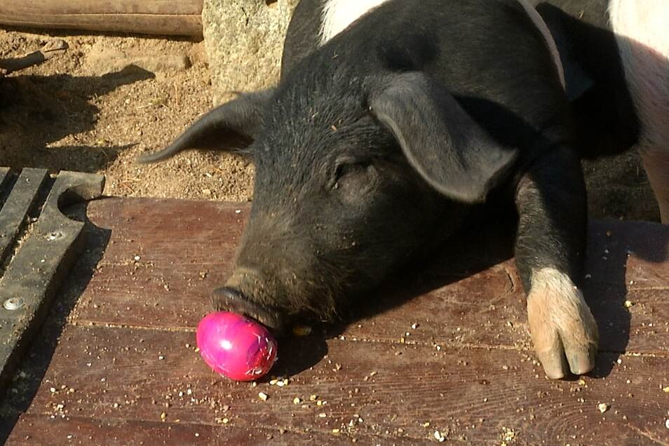 Kleine Abwechslung im Speiseplan: Ein buntes Ei fürs Schwein.