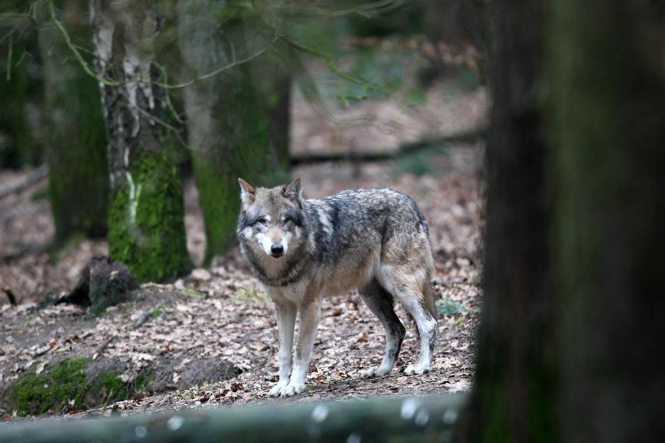 Junge Wölfe unternehmen oft weite Exkursionen, bevor sie sich für ein eigenes Revier entscheiden.