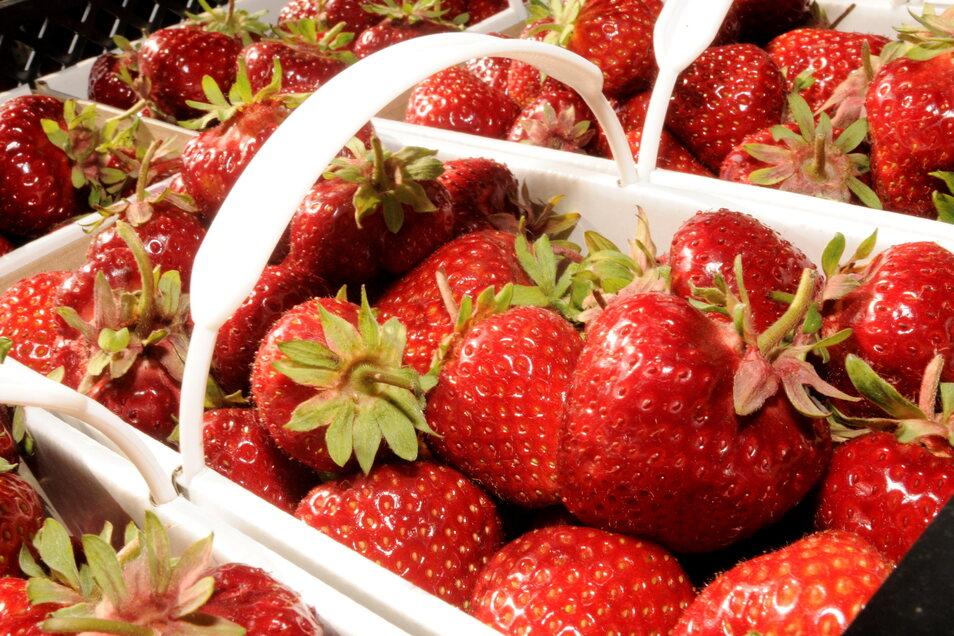 Es ist wieder soweit: Seit zwei Wochen können auf dem Feld der Kmehlener Agrarpodukte GmbH wieder Erdbeeren gepflückt werden.