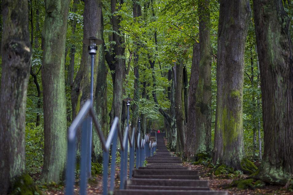 Das Grün trügt: Auch wenn die Bäume hier an der Görlitzer Landeskrone voll im Saft zu stehen scheinen, der derzeitige Regen ist noch zu wenig.