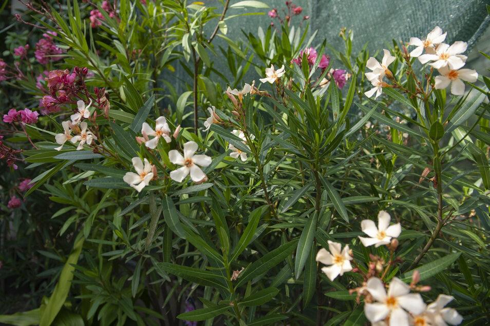 Spanien, Italien oder doch vielleicht Griechenland? Weit gefehlt, denn längst sind Oleander in verschiedenen Blütenfarben auch in hiesigen Gärten, Balkonen und Terrassen angekommen.