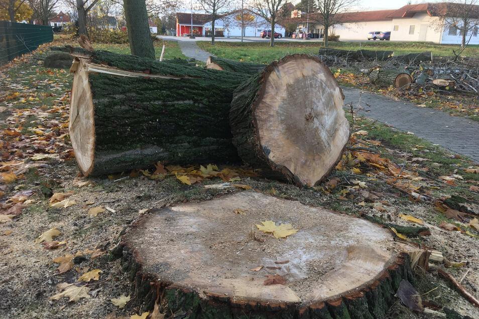 Drei große Bäume musste die GWVB am Külzviertel fällen.