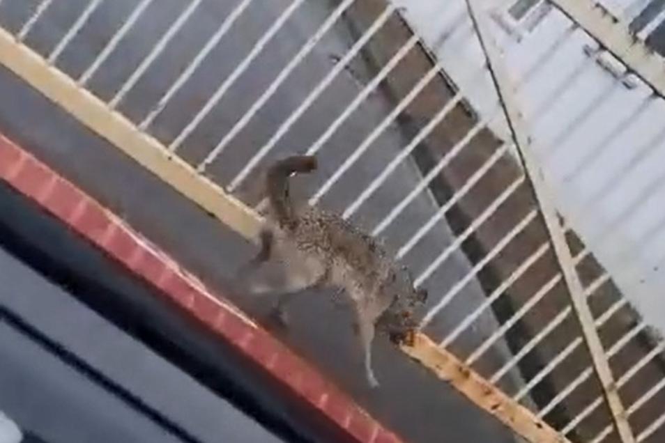 In Riesa wurde ein mutmaßlicher Wolf gesichtet. Ein Autofahrer hat das Tier in Gröba gefilmt. Der Zaun gehört zum einstigen Arbonia-Werkgelände.