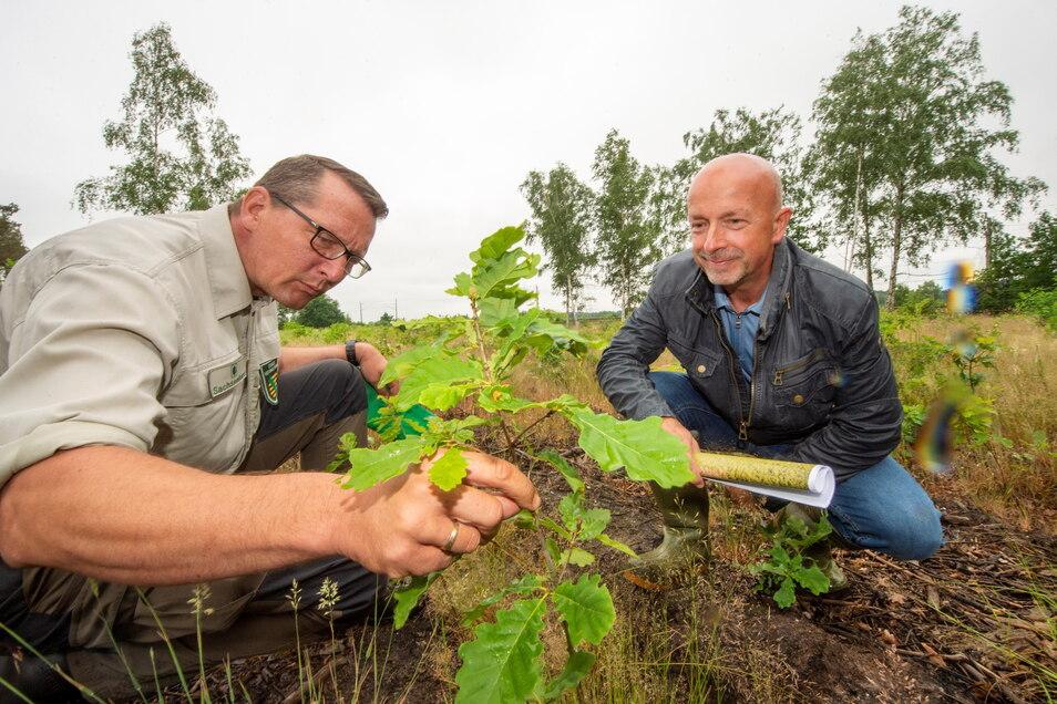 TZV-Geschäftsführer Frank Schmidt und Revierförster Gunther Schwarz begutachten eine neu angepflanzte Traubeneiche.