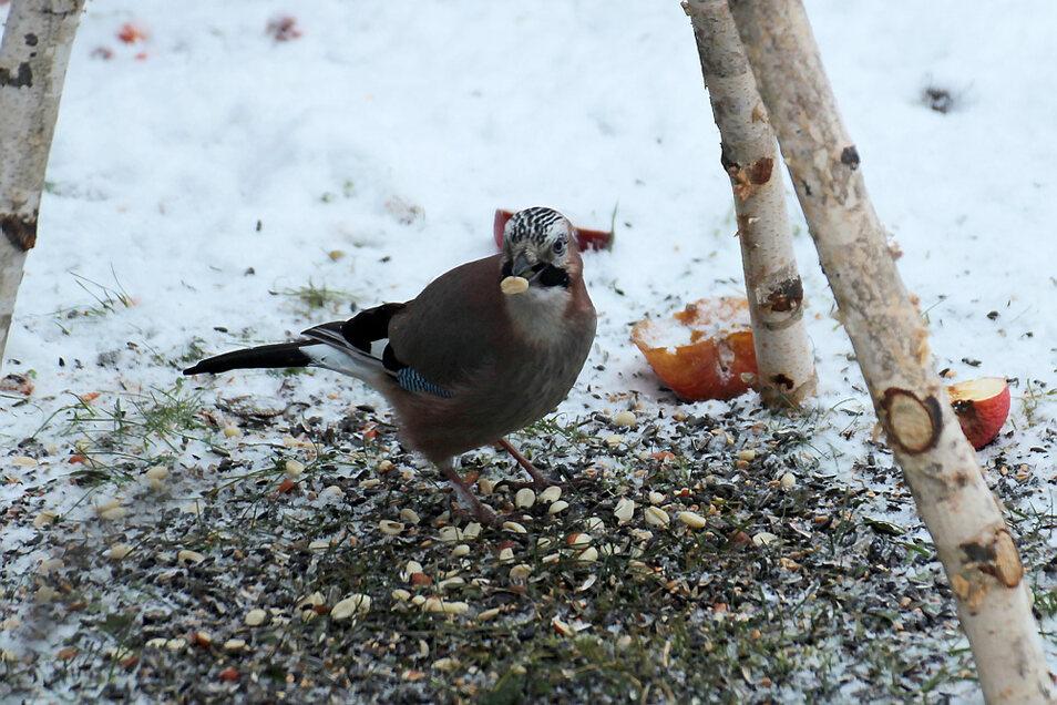 Eichelhäher gehören zu den größeren Besuchern der Vogelhäuser und sonstiger Futterplätze. Wenn das Angebot stimmt, sind bis zu 30 verschiedene Vogelarten anzutreffen.