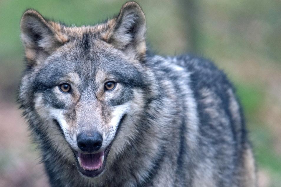 Der Wolf eroberte weitere Reviere. Ist nun eines in Struppen dazu gekommen?