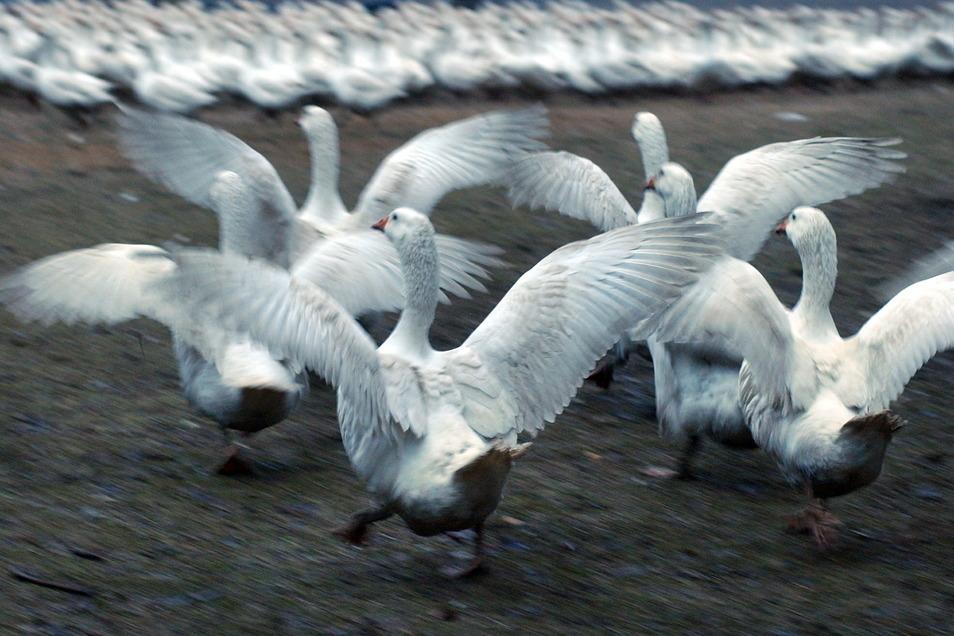 Nutzgeflügel wie Gänse dürfen in Dresden wegen der Vogelgrippe derzeit nicht im Freien gehalten werden.