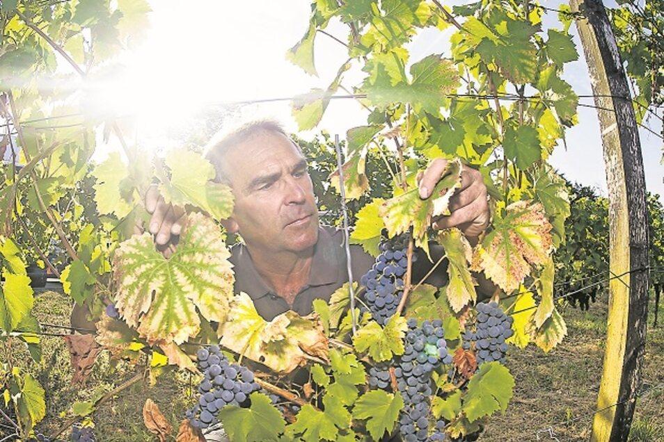 Im Sommer 2018 vertrocknete das Laub der Pesterwitzer Weinstöcke. Guts-Chef Lars Folde will sich von Wetterkapriolen unabhängiger machen und plant den Bau von Zisternen.