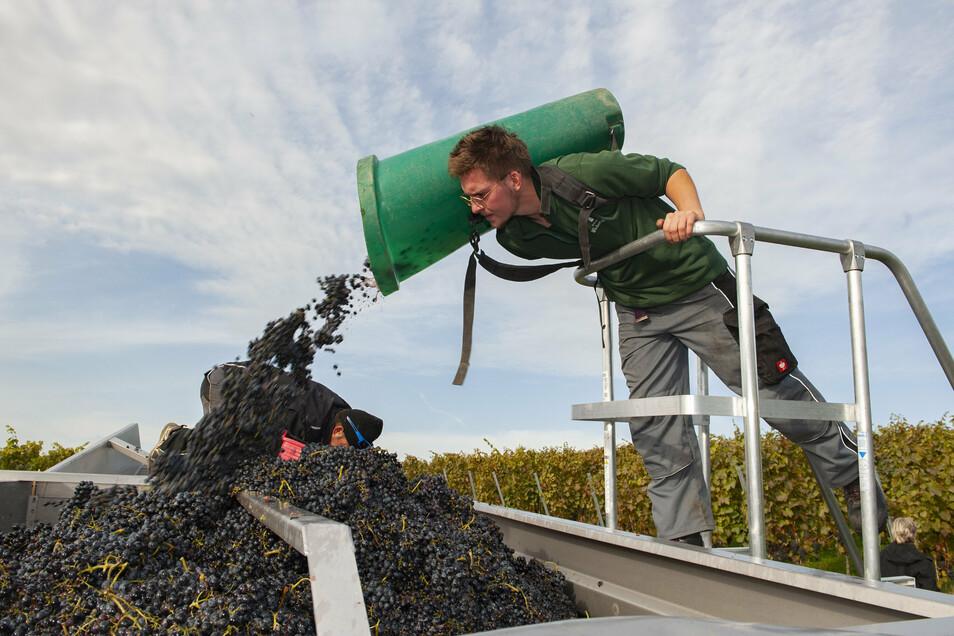 Ende Oktober war die Weinlese auf dem Laubacher Thonberg in vollem Gange: Auszubildender Victor Seitzinger hatte am Blaufränkischen gut zu schleppen.