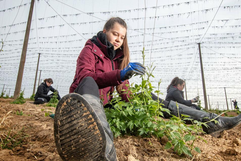 Victoria Ort und ihre Mitschüler helfen im Mai auf den Hopfenfeldern rund um Schrebitz beim Anleiten der Pflanzen.