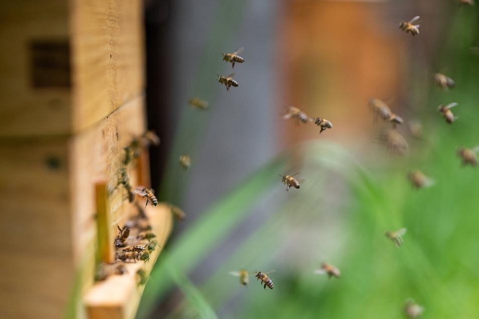 Bienen im Anflug auf einen der Bienenkästen von Imker Wünsche.