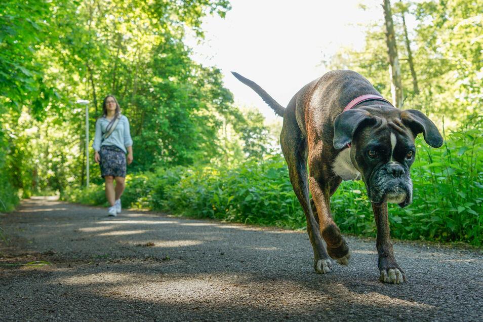 Er ist der liebste Freund des Menschen. Doch auch für den Hund müssen Halter Steuern zahlen und die unterscheiden sich im Kreis Bautzen erheblich.