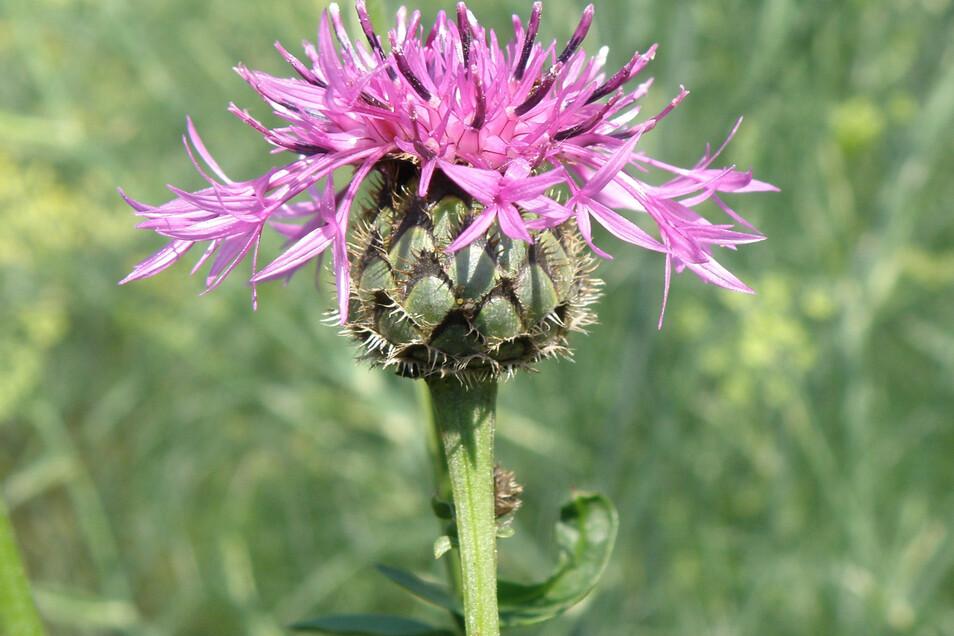 Auch die Skabiosenflockenblume gehört zu den Wildpflanzen, die großgezogen werden können.