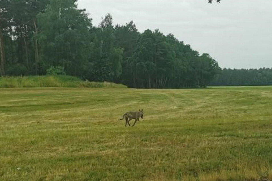 Auf diesem Foto gut zu erkennen: Dem Tier, dass laut LfULG ganz sicher ein Wolf ist, fehlt die linke Vorderpfote.