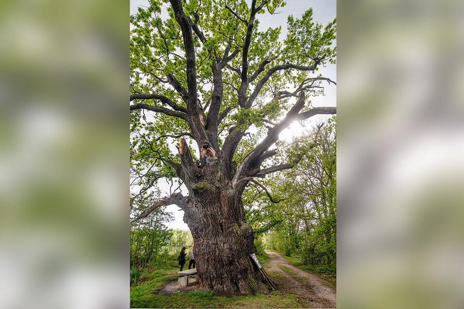 Die rund 30 Meter hohe Eiche am Großen Ziegelteich in Niedergurig war im Dezember angefackelt worden. Nur wenige Monate später trägt der Baum wieder ein grünes Blätterdach.