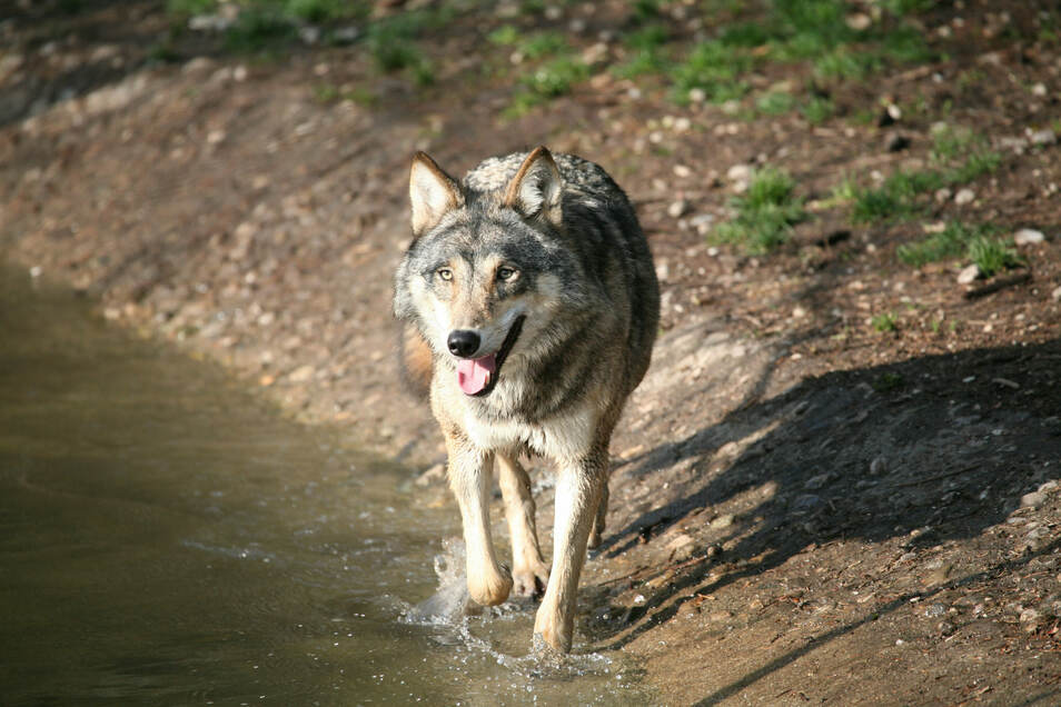 Der Wolf breitet sich in Sachsen weiter aus.