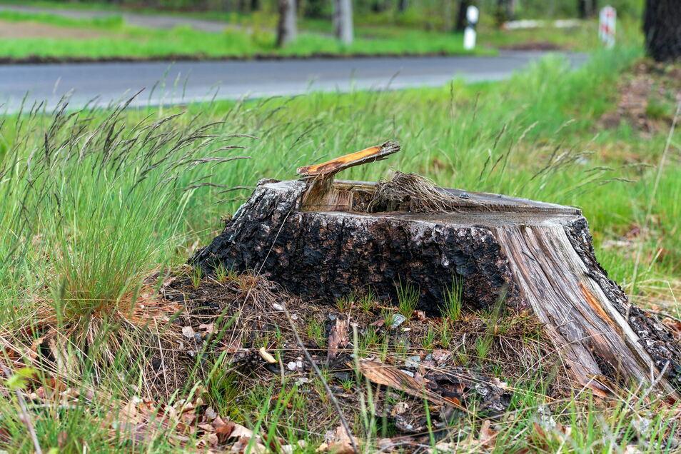 Bevor eine Kreisstraße ausgebaut wird, werden in der Regel die Bäume am Straßenrand abgeholzt. Neue dürfen vor Ort nur in seltenen Fällen gesetzt werden.