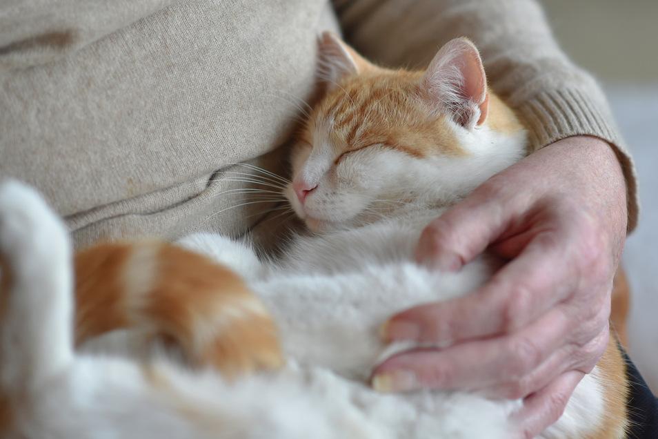 Halter von Katzen scheinen mehr gefährdet zu sein sich mit Borna Viren zu infizieren