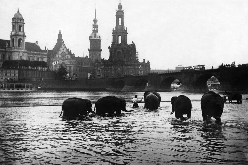 Die Elefanten des Circus Sarrasani baden in der Elbe.
