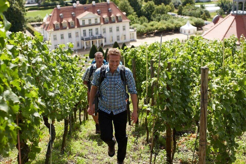 Wandern durch die Weinberge von Schloss Wackerbarth