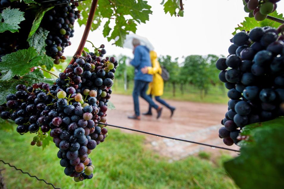 Die Besucher der Weinguter waren für den teils heftigen Regen am Sonnabend gut gerüstet, hier im Weingut Matyas in Coswig. Der Sonntag war zum Glück freundlicher.