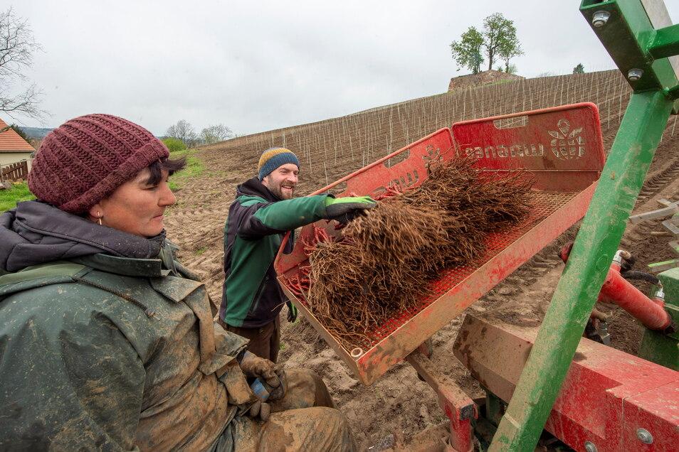 Mit den etwa 30 Zentimeter langen Jungpflanzen vom Rotwein Gamay wird die Pflanzmaschine bestückt. So sind an einem Tag die 6.500 Pflanzungen zu schaffen.