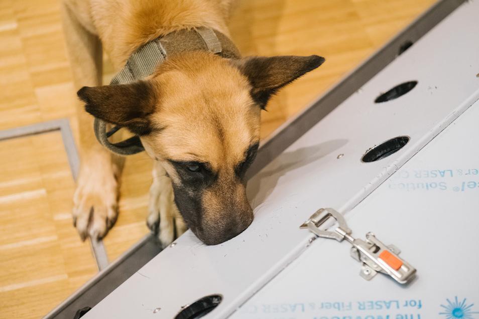 Der belgische Schäferhund Filou schnüffelt in der Tierärztlichen Hochschule (TiHo) an einer Trainingsmaschine für Corona Spürhunde. Die Hunde sind in der Lage Speichelproben von SARS-CoV-2-infizierter Menschen zu erkennen