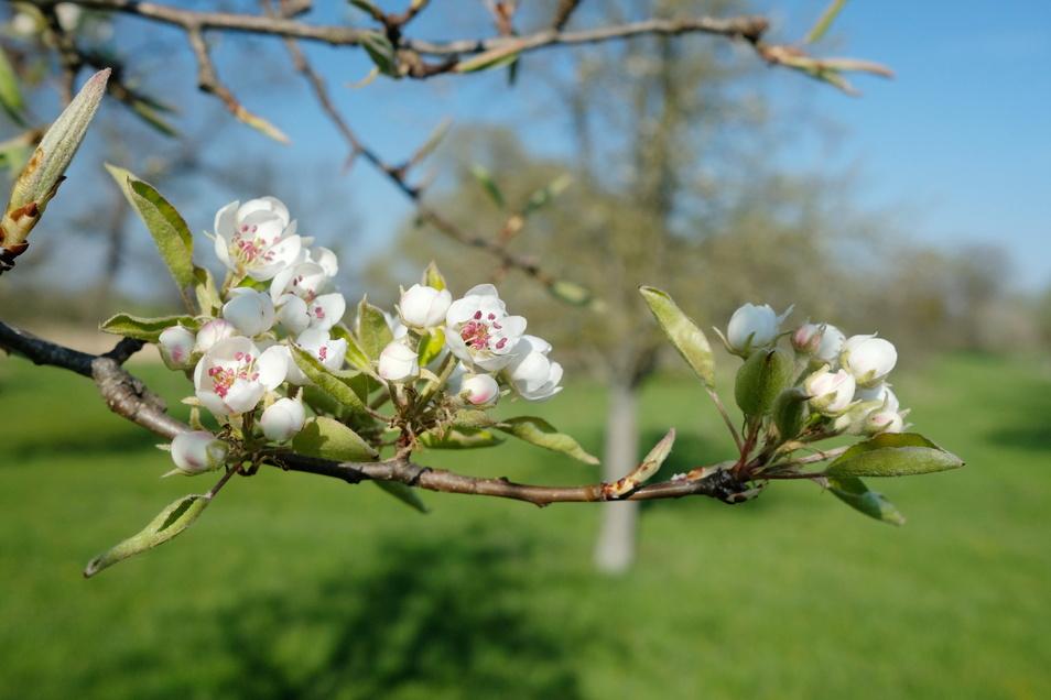 Blüten eines Kirschbaumes auf einer Streuobstwiese im Eilenburger Ortsteil Hainichen in Nordsachsen. Viele dieser Biotope sind in den vergangenen Jahrzehnten verfallen oder aufgegeben worden.