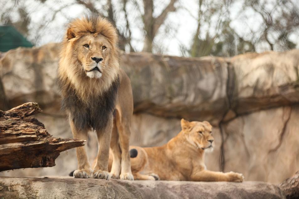 Die Löwen im Dresdner Zoo könnten durch das Corona-Virus gefährdet sein.